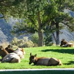 Elk in Mammoth Springs 5 miles away