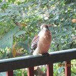 Kookaburra waits for breakfast