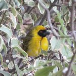 Weaver bird outside the dinning room window