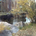 A moose in the pond next to the lodgings.