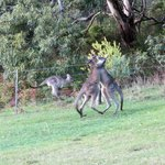 Kangaroos in the garden!