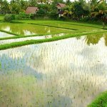 rice terraces around bungalows