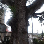 Huge Mastaav Tree at the Derek Walcott Square