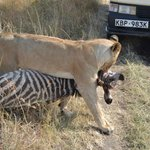 lion dragging a zebra carcass right in front of our car