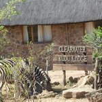 Zebra drinking from the pond at the lodge entrance