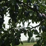 Fresh Plums....make sure to take samples of the plum preserve!