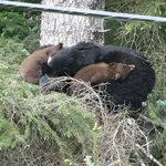 Bear family-in a tree- on the way to Eagle Beach