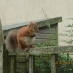 Resident Red Squirrel