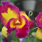 RF orchid