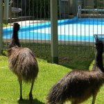 A visit from the emus