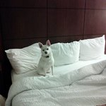 A great pet friendly hotel!  Edna loved it!