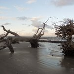 Mighty Oaks on Driftwood Beach