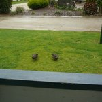 ducks visiting.