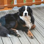 Bailey the Bernese