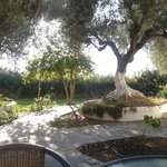Old olive trees in front of the apartment