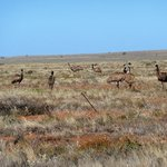 Emu's on the outskirts of Broken Hill NSW