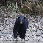 Bears along the Rivershore are often a rare sight but this was all day long for both days.