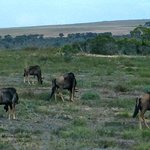 Herd of blue wildebeest