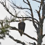 Bald Eagle stopped by cabin