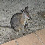 Wallabie