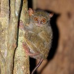 A tarsier photographed during the jungle trip og mama roosin evening