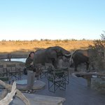 Elephants walk up to the pool