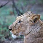Lioness keeping an eye on the kids and us