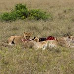 Lion lunch time
