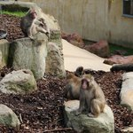 Monkeys in City Park , Lauceston