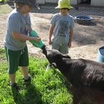 Feeding Junior, the calf