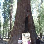 The mighty redwood!