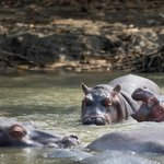 Hippos from St. Lucia estuary