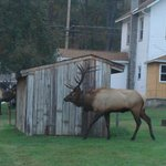 Two elk in the lawn next to the restaurant parking lot.
