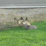 Mule deer at the campground
