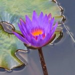 In the lily pond