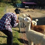 Getting friendly with the Alpacas