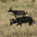 African Hunting Dogs - 26th Sep 2013