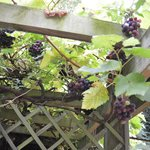 Juicy Grapes on the trellising in the Garden.