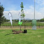 Turkish Oak Tree planted