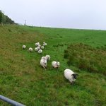 Sheep at the farm!