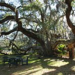 These live oaks must be seen to be appreciated...draped in Spanish moss they are as old as the I