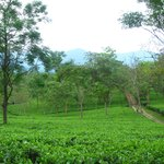 tea gardens all around