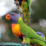 Watching the Rainbow Lorikeets feeding in the garden