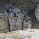 Isandlwana rock hyraxes shelter from the rain