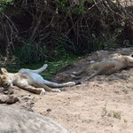 Lions sleeping near Ruaha River