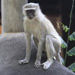 Vervet monkeys are everywhere!   Watch your dessert!  They're thieves.