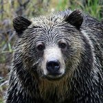 Yellowstone Grizzly picture taken by BrushBuck customer on tour by: Billy Liljeroos