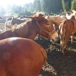 Gentle horses and mules available for day or longer riding trips