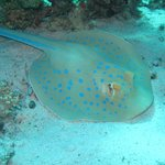 Sting Ray from Umm Gammar Dive Site