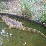 A Crocodile at the lodge